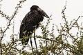 African Open-billed Stork (27916537700).jpg
