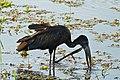 African Openbill (Anastomus lamelligerus) (32478710014).jpg
