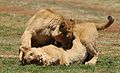 African lion, Panthera leo feeding at Krugersdorp Game Park, South Africa (29443062144).jpg