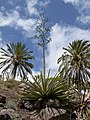 Agave - Fuerteventura - Canary Islands - Spain - 01.jpg