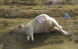 "Agistment - A dead cow beside Roger Penny Way in the New Forest, Hampshire. The sticker states ""Agister Aware"" because the agisters (not police) have the legal responsibility for animals in the forest."