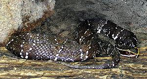 Agkistrodon bilineatus - A. b. bilineatus