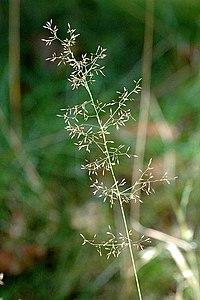 Agrostis.canina