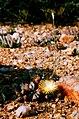 Aizoaceae Blossom Vygie.jpg