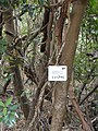 Akebia trifoliata - Miyajima Natural Botanical Garden - DSC02398.JPG
