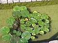 Alba Carolina Fortress 2011 - Water Lilies-1.jpg