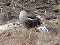 Albatross birds - Espanola - Hood - Galapagos Islands - Ecuador (4871661070).jpg