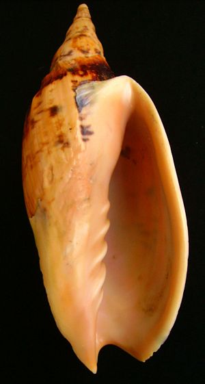 Plait (gastropod) - The aperture of the shell of Alcithoe swainsoni shows five plaits on the columella, four strong and one weak