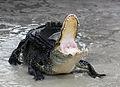 Alligator mississippiensis defensive.jpg