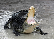 american alligator wikipedia