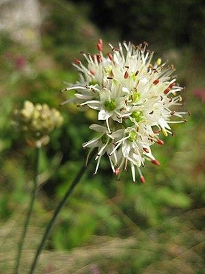 Allium ericetorum - Allium ericetorum