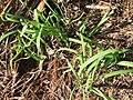 Allium triquetrum L. (AM AK299165-1).jpg