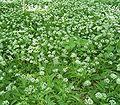 Allium ursinum6 ies.jpg