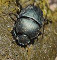Allogymnopleurus thalassinus 000851-1.jpg