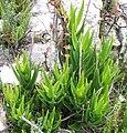 Aloe juddii - Koudeberg - Cape Agulhas.JPG