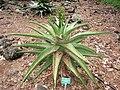 Aloe marlothii - Koko Crater Botanical Garden - IMG 2315.JPG