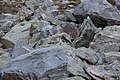 Alpine Marmot - Marmota marmota (15223467548).jpg
