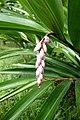 Alpinia zerumbet à São Tomé (2).jpg