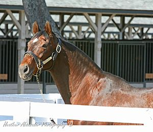 Alysheba - Alysheba in 2008 at Kentucky Horse Park