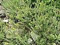 Alyssoides utriculata - Botanischer Garten Freiburg - DSC06444.jpg