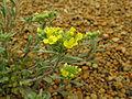 Alyssum montanum2.jpg