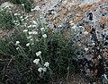 Alyssum tenuifolium 25099137.jpg