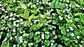 Am Bilstein bei Breungeshain und Busenborn - Blumen auf der Weide.jpg