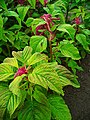 Amaranthus caudatus 001.JPG