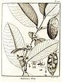 Ambelania acida Aublet 1775 pl 104.jpg