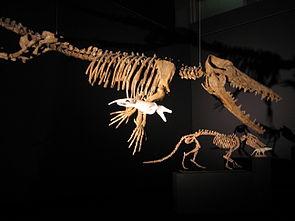 Skelettrekonstruktion von Ambulocetus, im Hintergrund unten Pakicetus