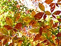 American Beech Leaves - Flickr - treegrow (13).jpg