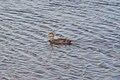 American Black Duck (Anas rubripes) - Gander, Newfoundland 2019-08-21.jpg