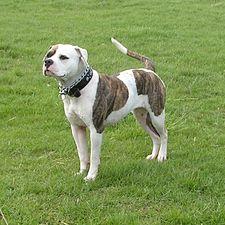 American Bulldog 600.jpg