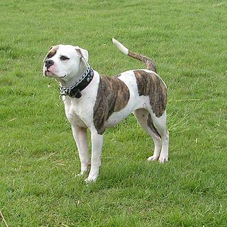 Bulldog breeds - American Bulldog