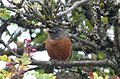 American Robin. Turdus migratorius - Flickr - gailhampshire.jpg