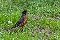 American Robin (44200739281).jpg