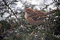 American Tree Sparrow (Spizella arborea) (11808780723).jpg