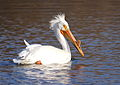 American White Pelican (breeding) in Green Bay, WI, 2013.JPG