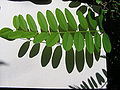 Amorpha fruticosa4.JPG