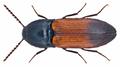 Ampedus balteatus (Linné, 1758) (14221476875).png