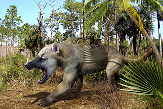 Bear dog - Restoration of Amphicyon ingens