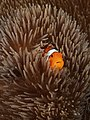 Amphiprion ocellaris ( Clownfish).jpg