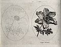 An Anemone plant; two flowering stems, one in outline only. Wellcome V0044174.jpg