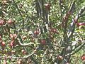 An apple tree on the way to Gangotri WTK-IMG 2699.jpg