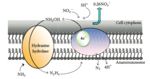 Scalindua - Mechanism of Ammonium Oxidation