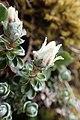Anaphalioides alpina kz2.jpg