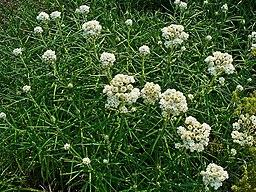 bosquet d'immortelle ou anaphalis marguarifacea