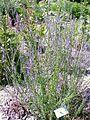Anarrhinum bellidifolium3.jpg