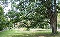 Anderson's Oak (21194752565).jpg