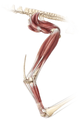 Anhanguera musculature.png
